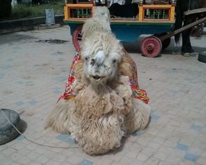 Camel in Kashgar square