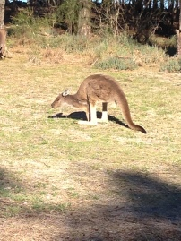 Roos in the heart of town